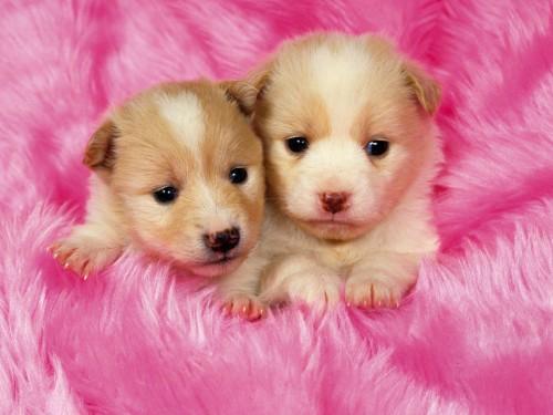 Source URL httpvanuaxcomfree puppy screensavershtml 500x375