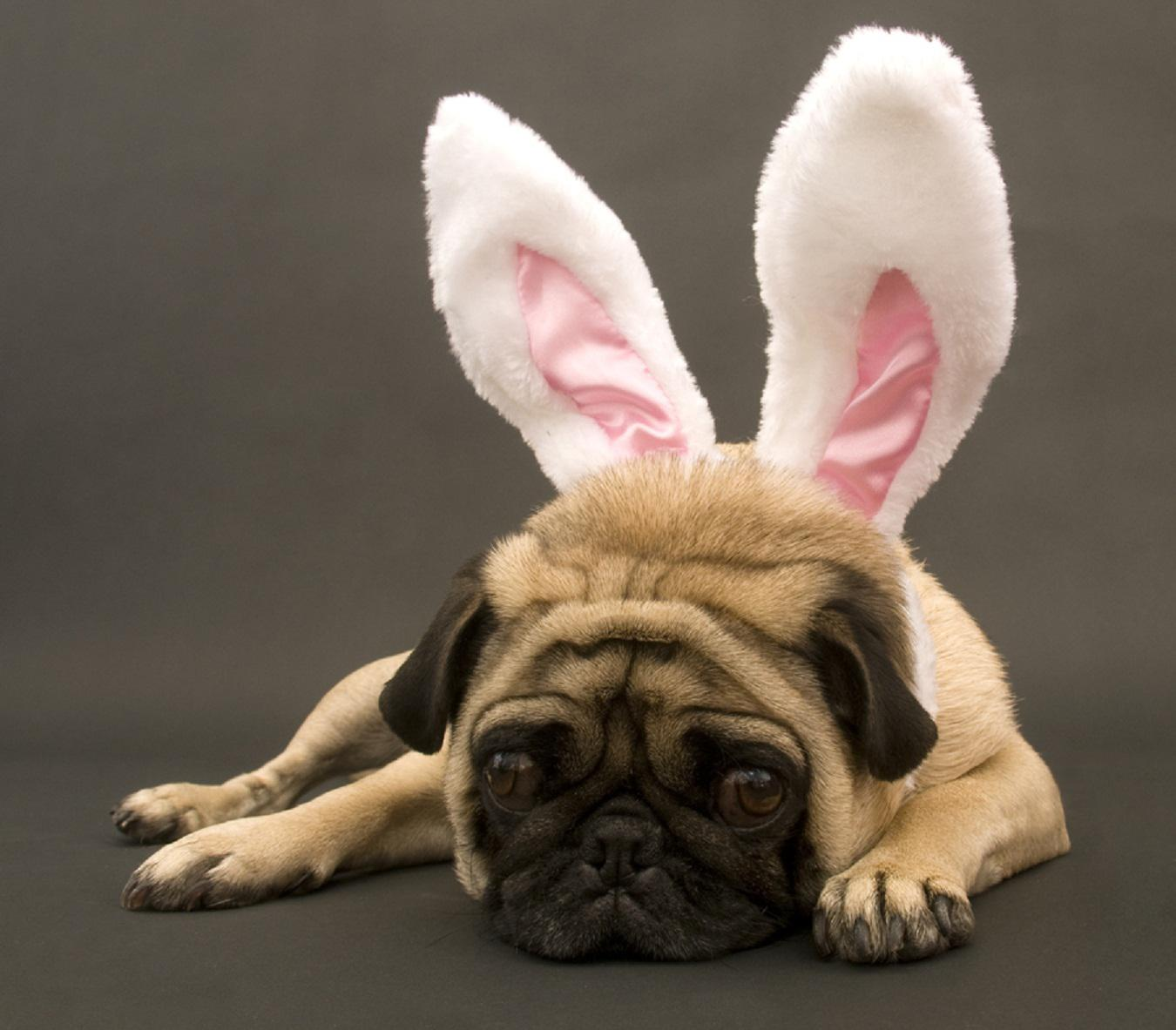 Easter Dog Wallpaper Pug Collection 11 Wallpapers