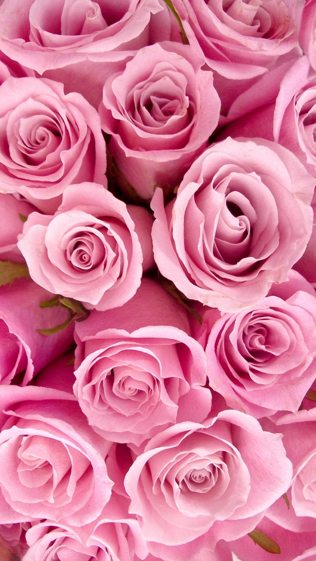 Pink Roses iPhone 5 Wallpaper 640x1136 640x1136
