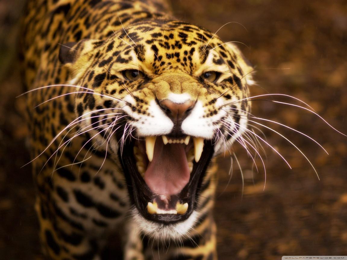 Wild Cat Wallpapers - WallpaperSafari