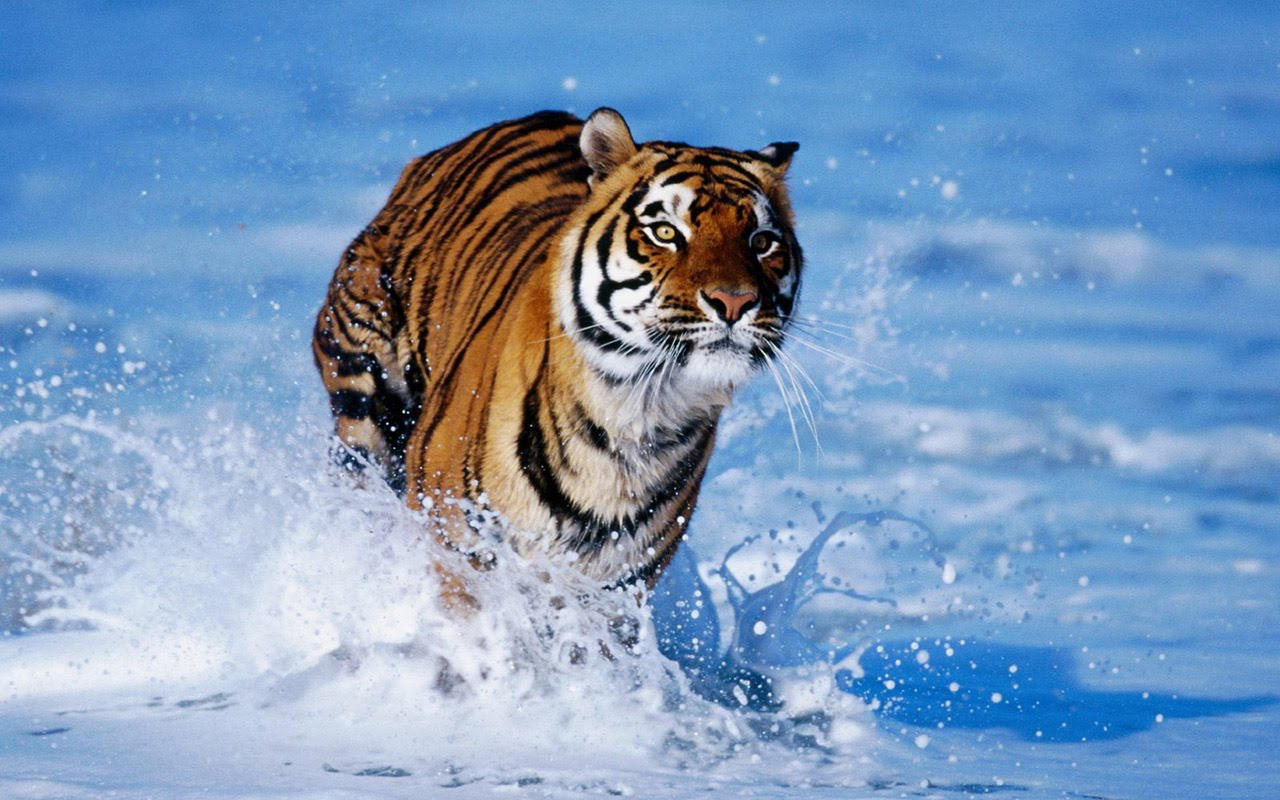 Animals Zoo Park Tigers Wallpapers Tiger Wallpaper for 1280x800
