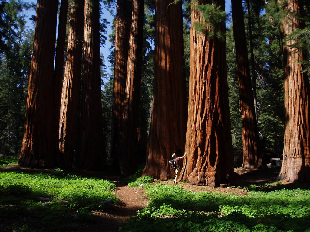 Sequoia National Forest Tree Park Wallpaper 1024x768