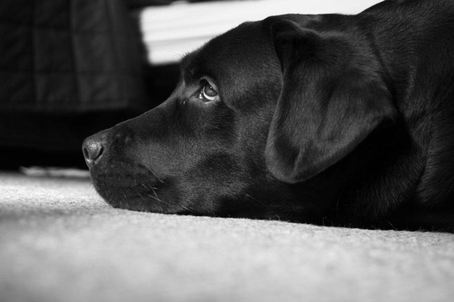 Zwart wit labrador peter de beste hond wallpaper   ForWallpapercom 909x606