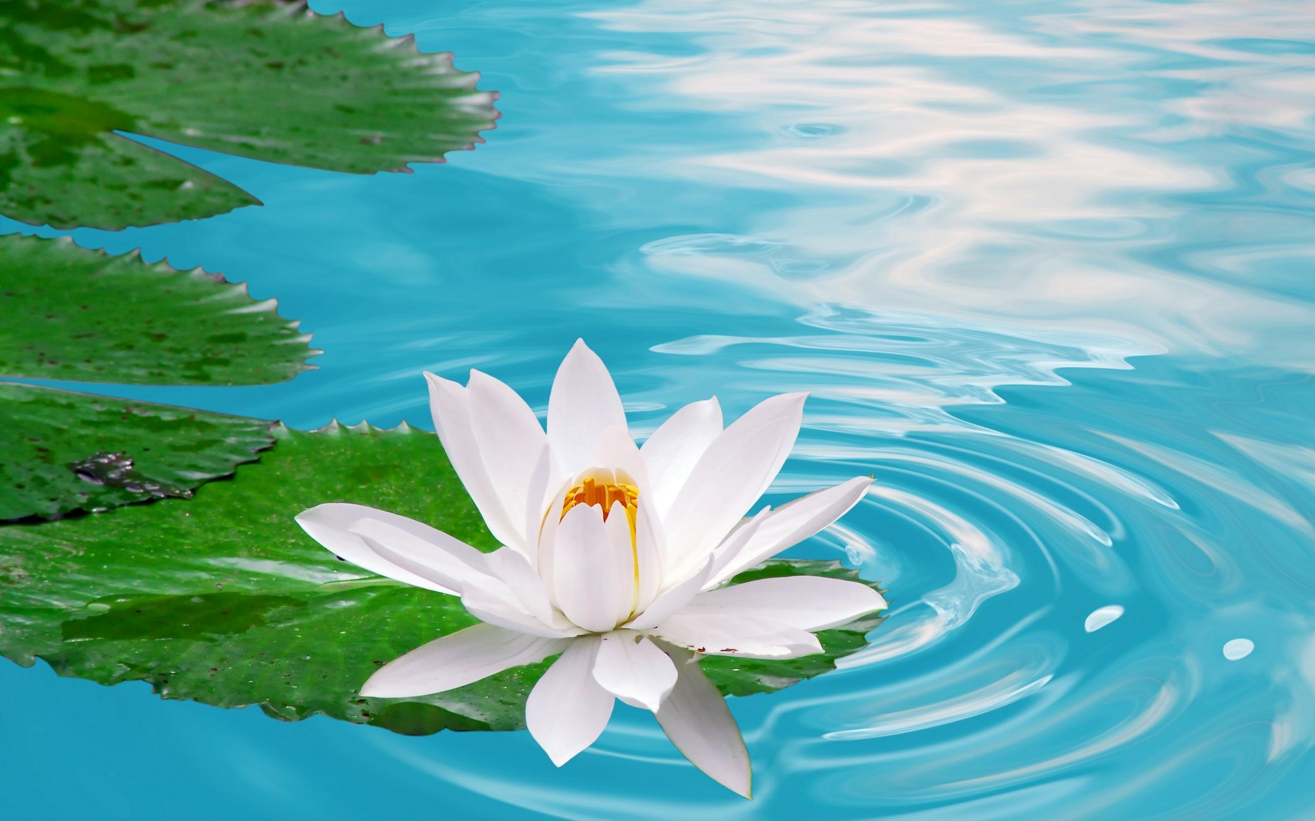 Download Lotus Flowers Wallpaper Hd Freetopwallpapercom 2560x1600