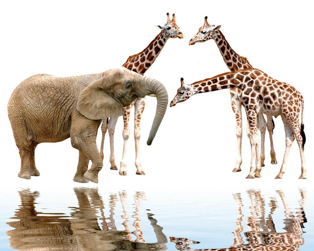 Pink Giraffe Desktop Wallpaper Wallpapersafari