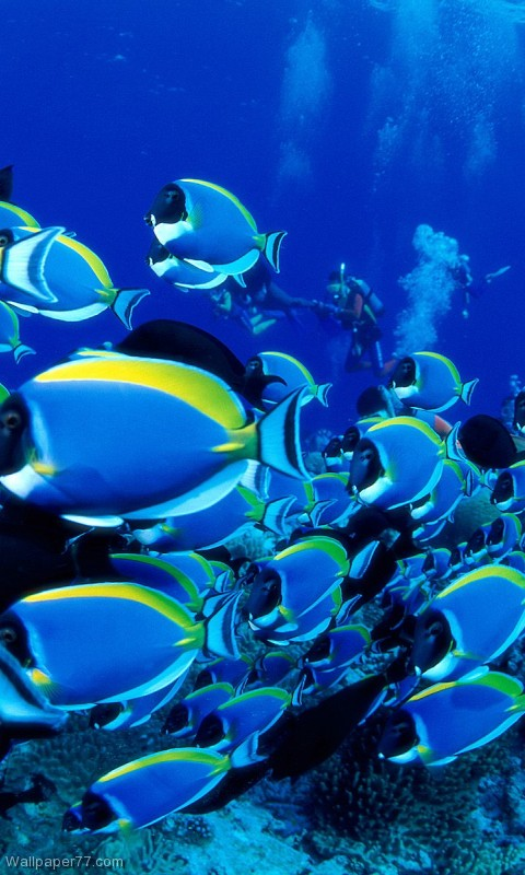 Blue Tangs 480x800 pixels Wallpapers tagged Fish Wallpapers Ocean 480x800