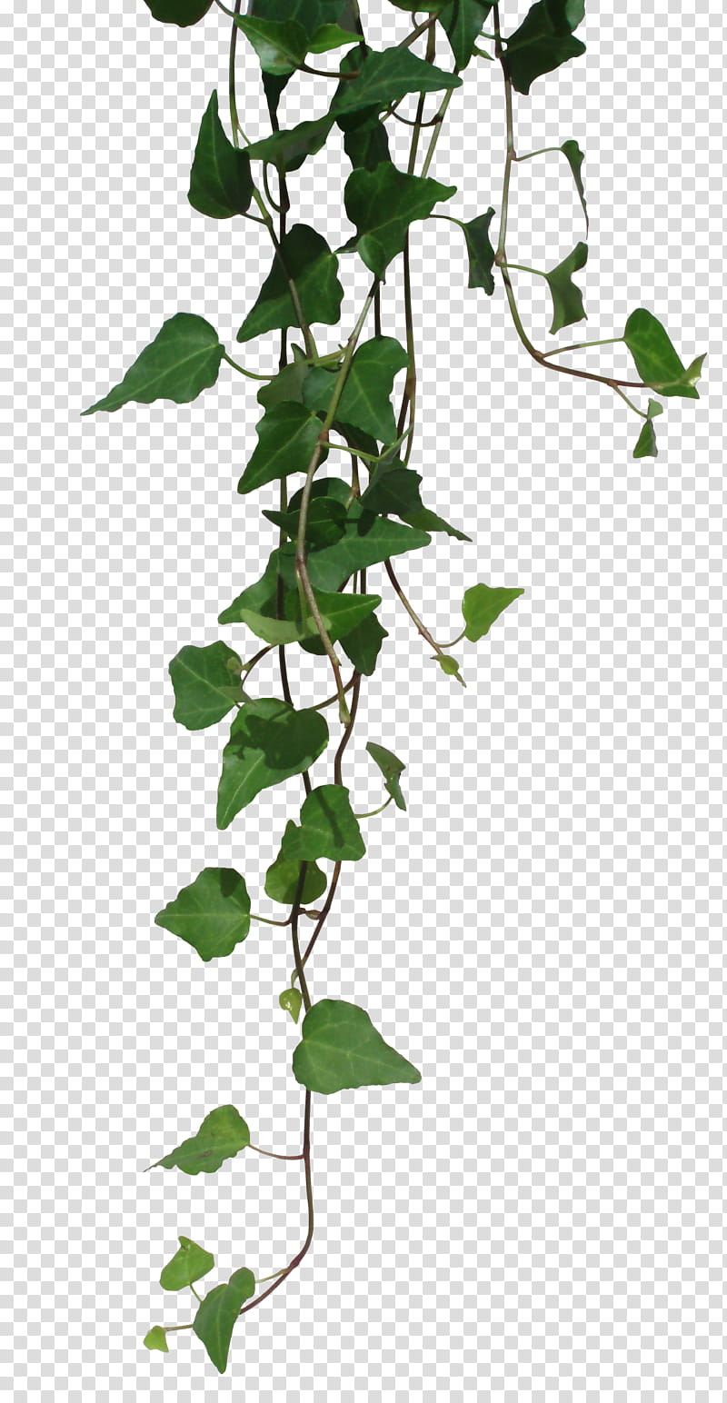 RNDOM green vines transparent background PNG clipart HiClipart 800x1544