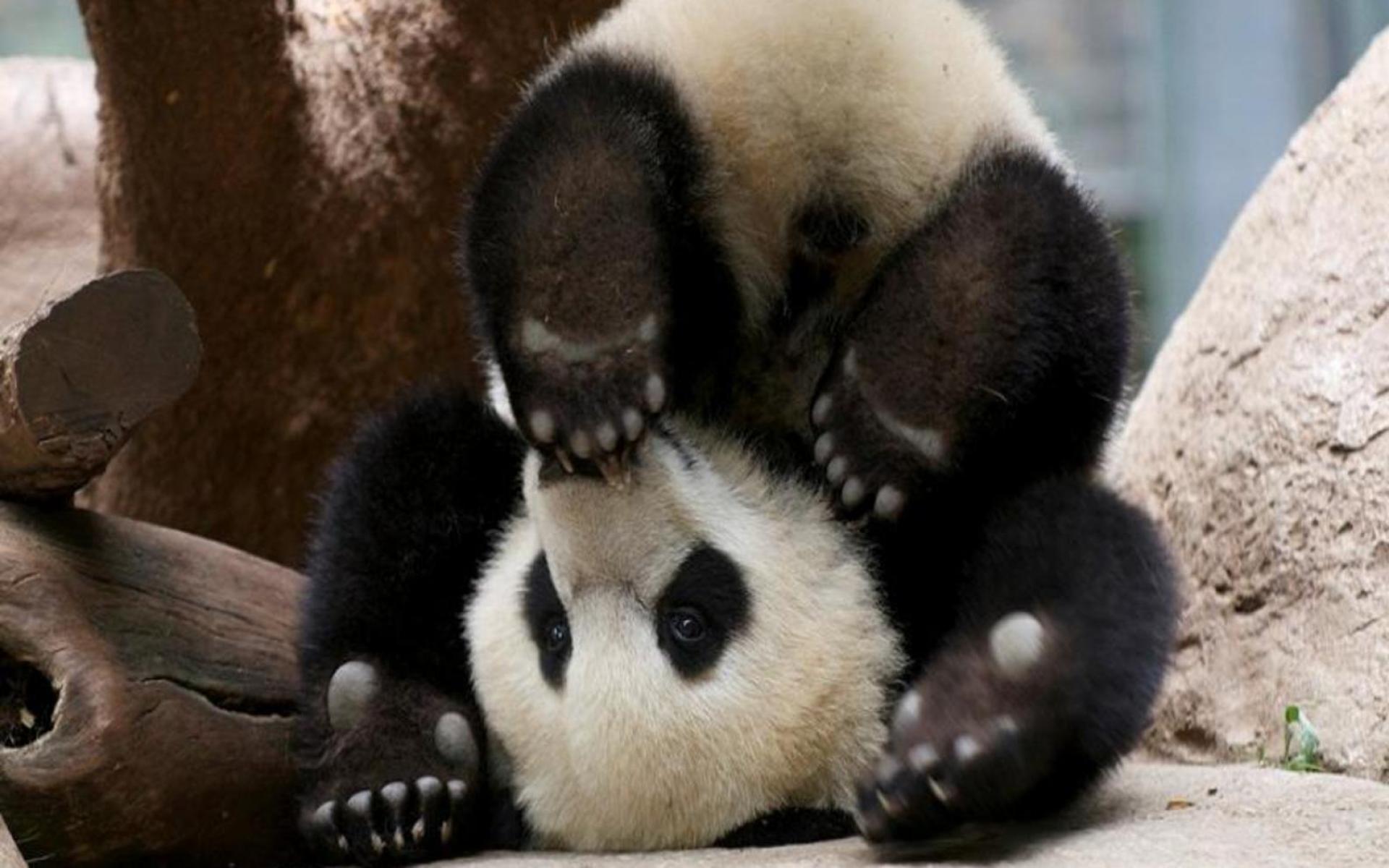 Panda pandas baer bears baby cute 72 wallpaper 1920x1200 364497 1920x1200