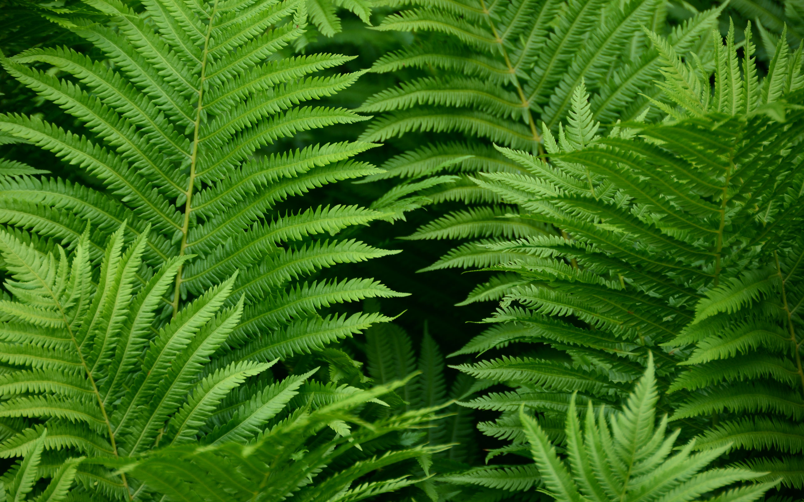Fern Wallpaper 2560x1600