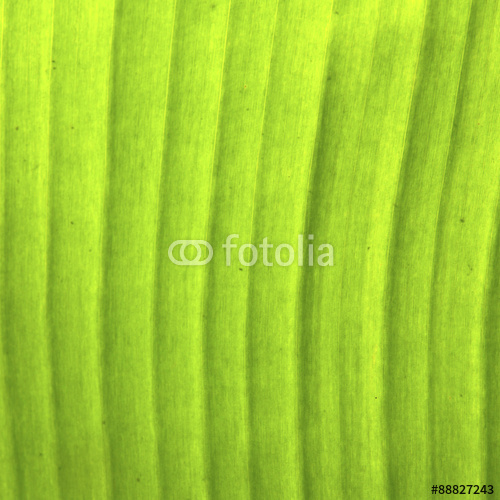 Texture background of backlight fresh banana palms green Leaf Stock 500x500