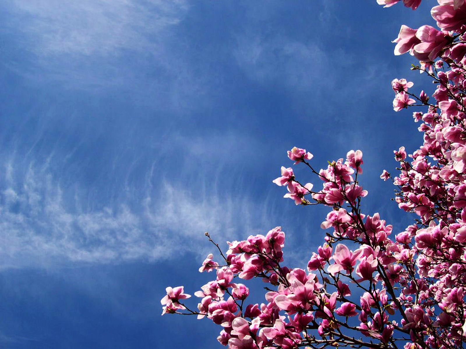 45 cherry blossom wallpaper hd on wallpapersafari - Sakura desktop ...
