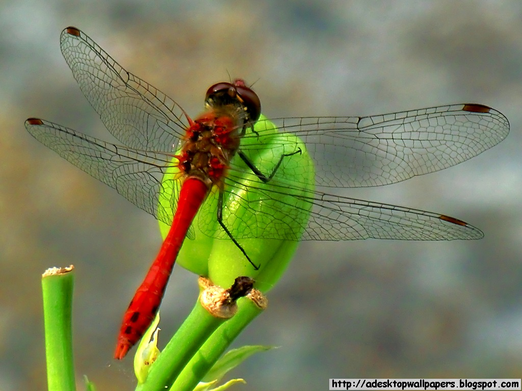 Dragonfly Animal Desktop Wallpapers PC Wallpapers Wallpaper 1024x768