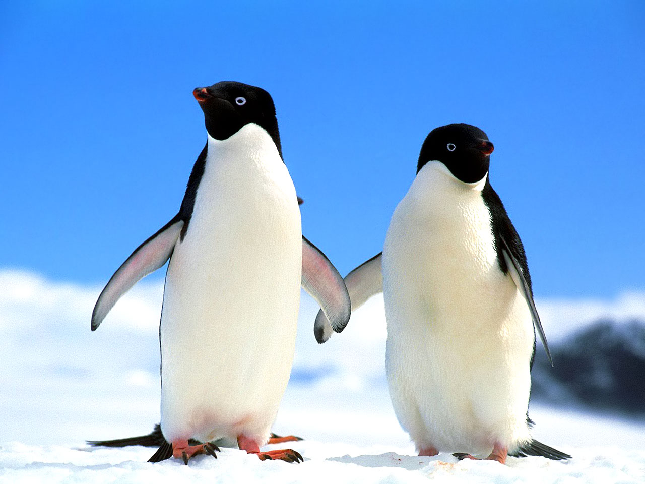 Cute Penguins in Lov HD Wallpaper Background Images 1280x960
