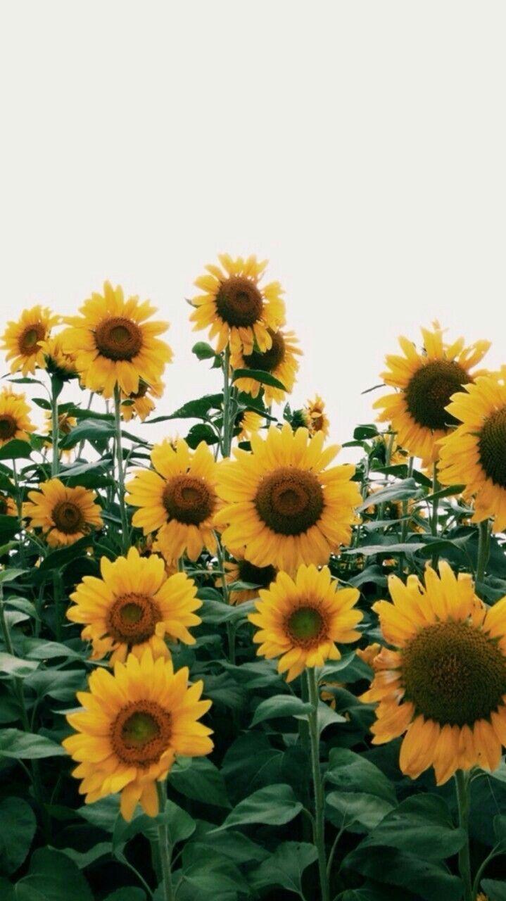 Sunflower iPhone Wallpapers   Top Sunflower iPhone 719x1280