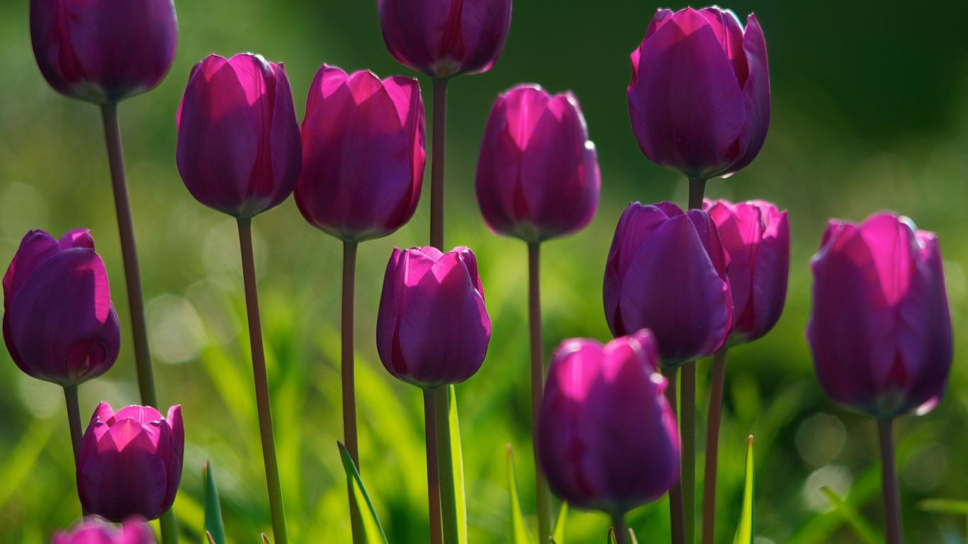 Flower Wallpaper in Nature with Purple Tulips HD Wallpapers for 1366x768