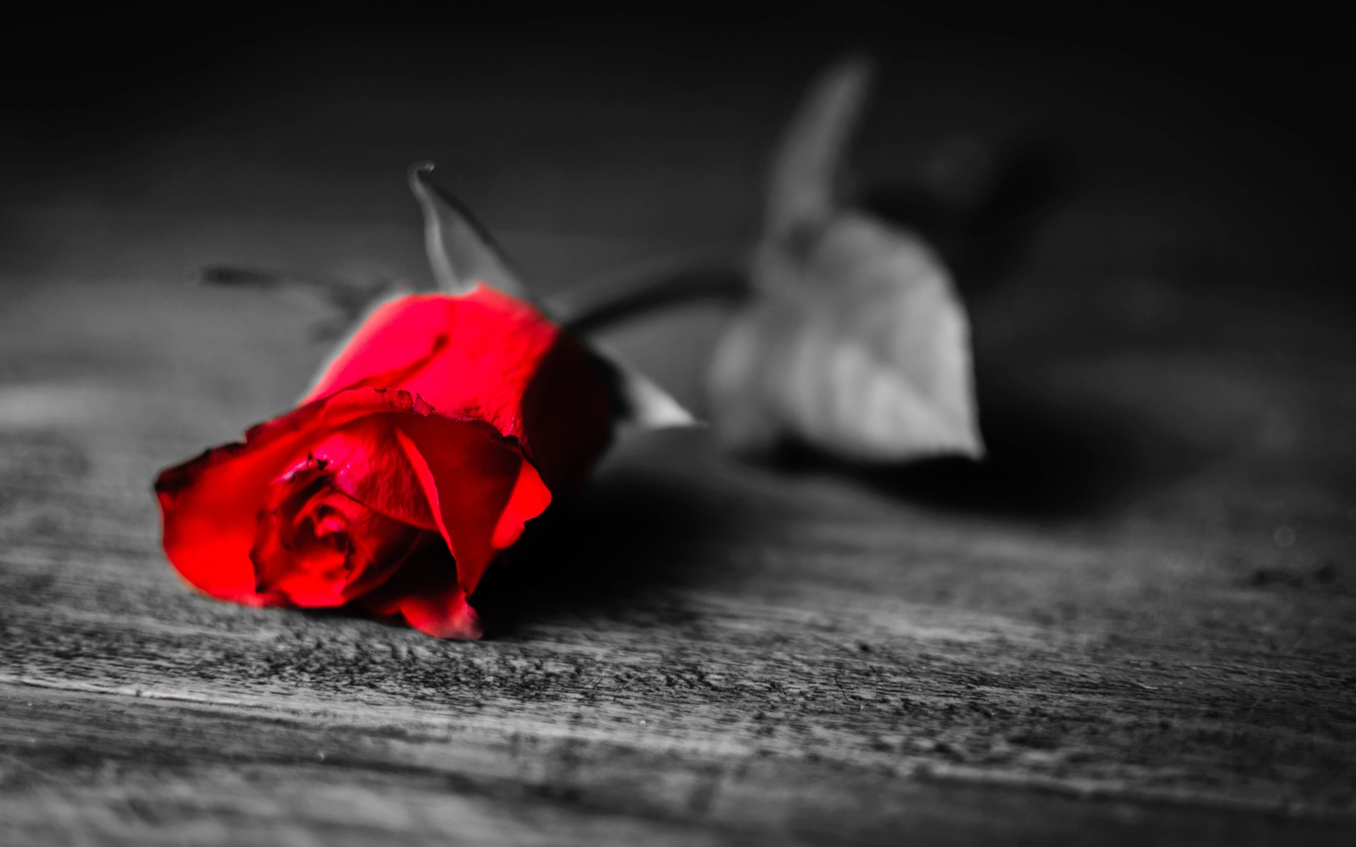 Red Rose With Black And White Background wallpaper 224278 1920x1200