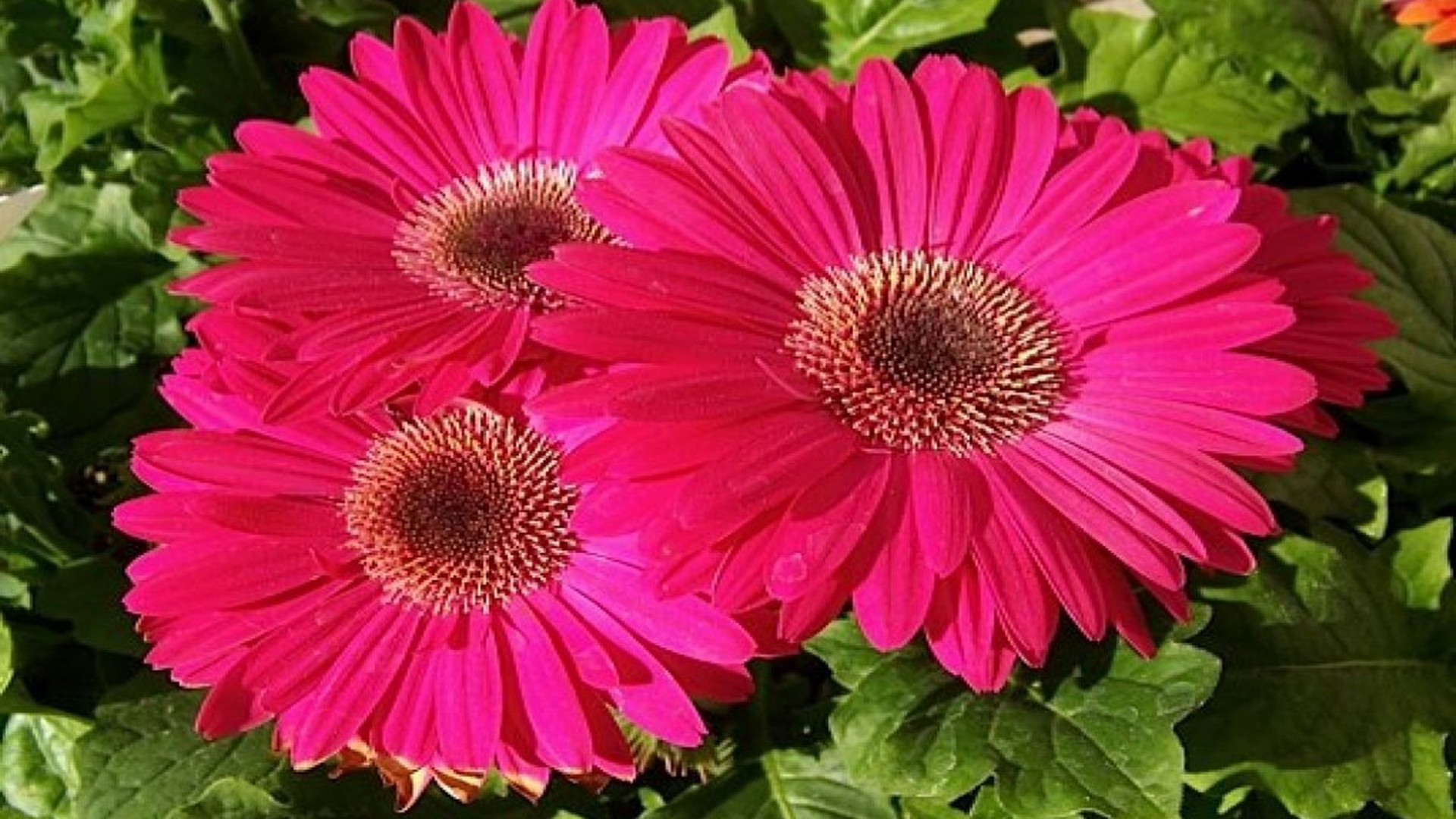 Light Pink Daisies Wallpaper Light Pink Gerbera Daisy Pink 1920x1080