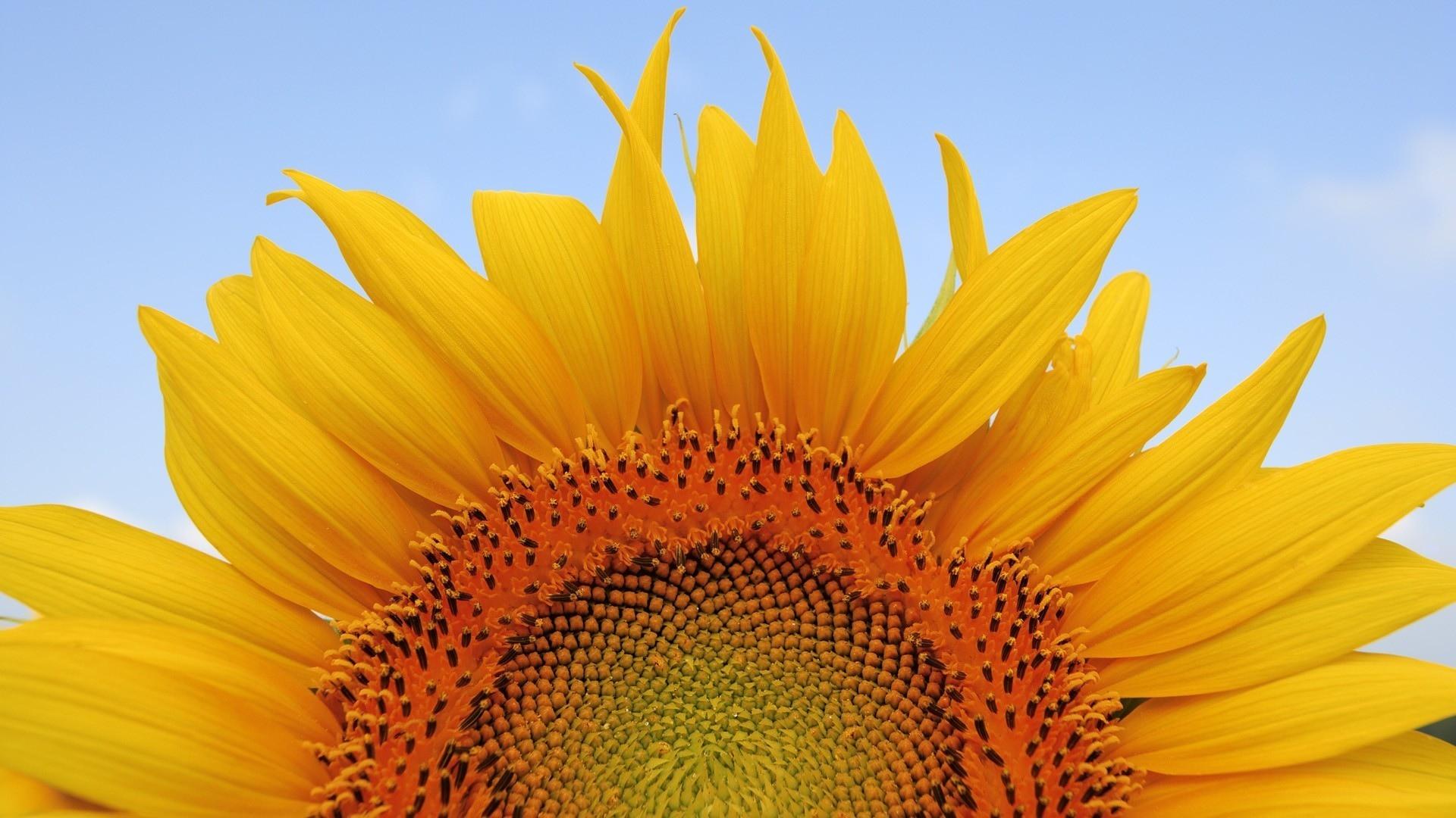 Sunflower Wallpaper Desktop Wallpapersafari