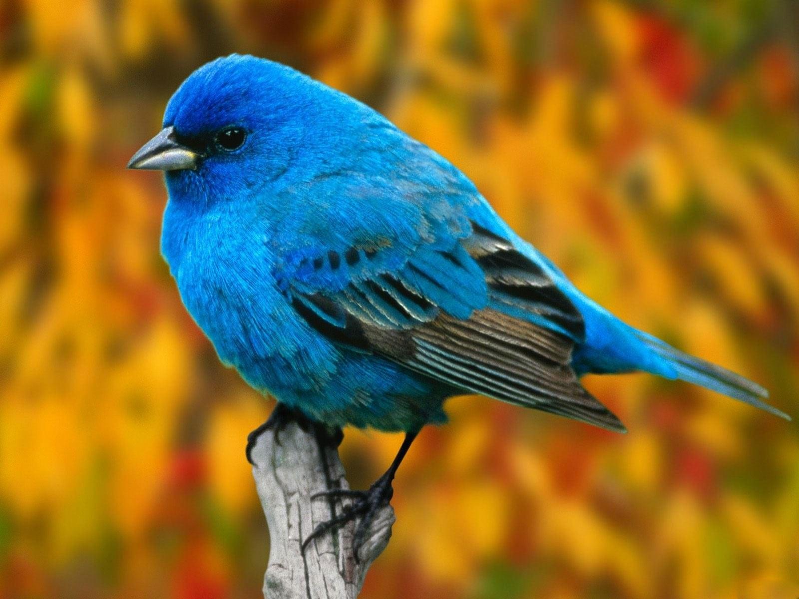 Blue Bird desktop wallpaper 1600x1200