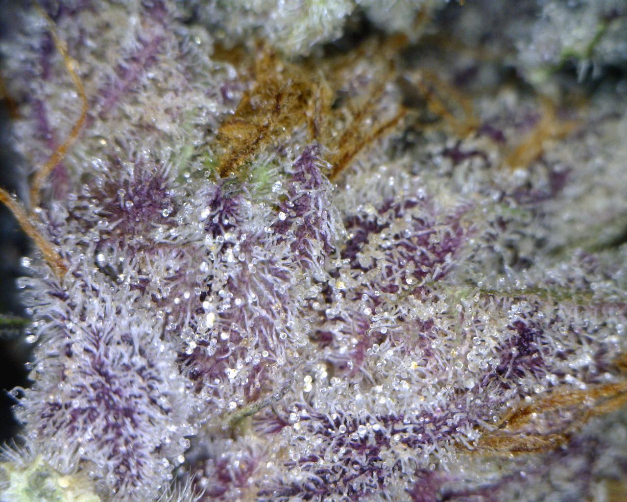 Purple Kush Wallpaper Purple Kush Wallpaper ...