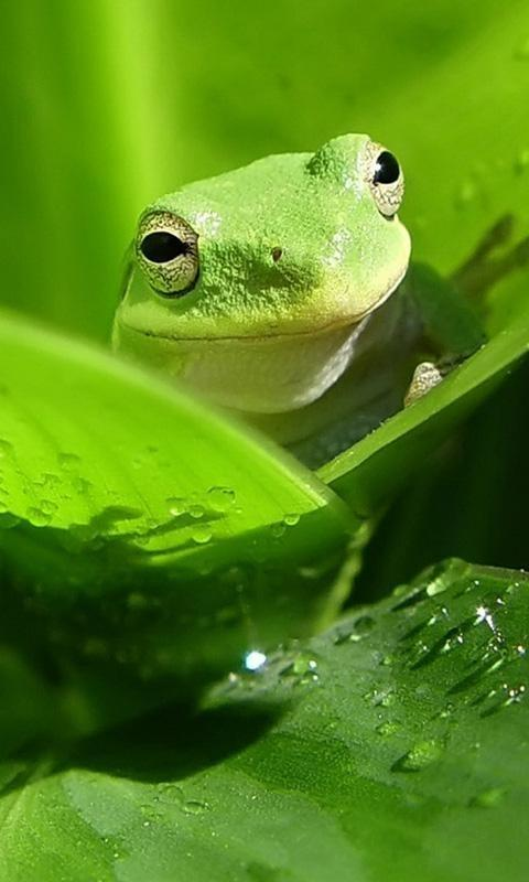 Frog Mobile Phone Wallpapers 480x800 Hd Wallpapers For Your Cell Phone 480x800