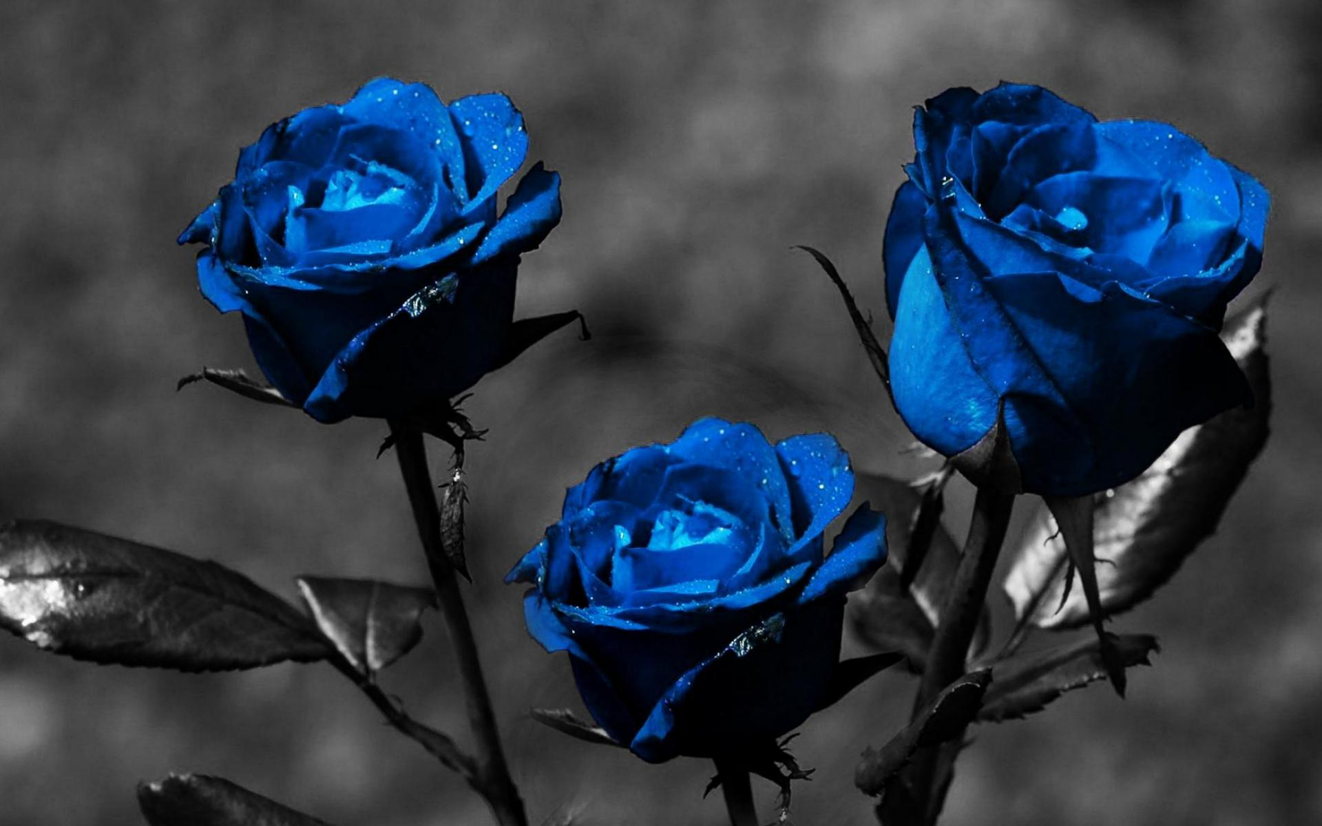 couple of blue roses - photo #16