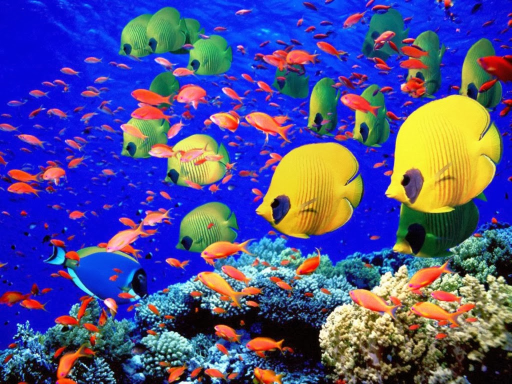 Coral reef life Fish wallpapers   High Definition Wallpapers for 1024x768