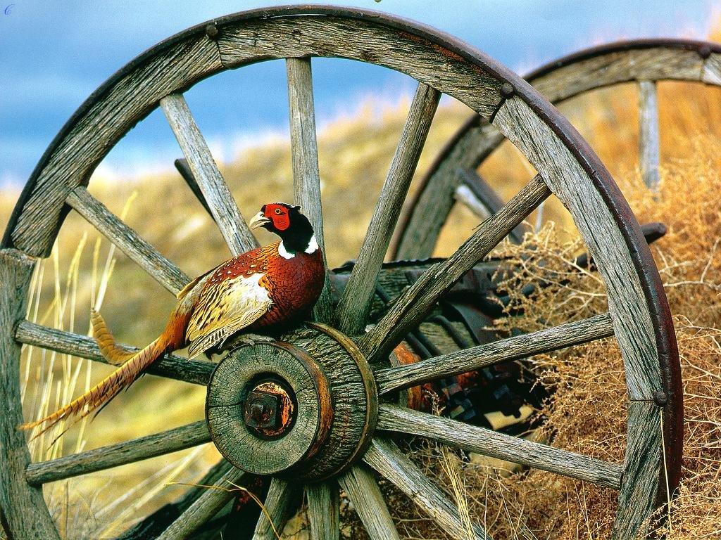 30 Pheasants Forever Desktop Wallpaper On Wallpapersafari