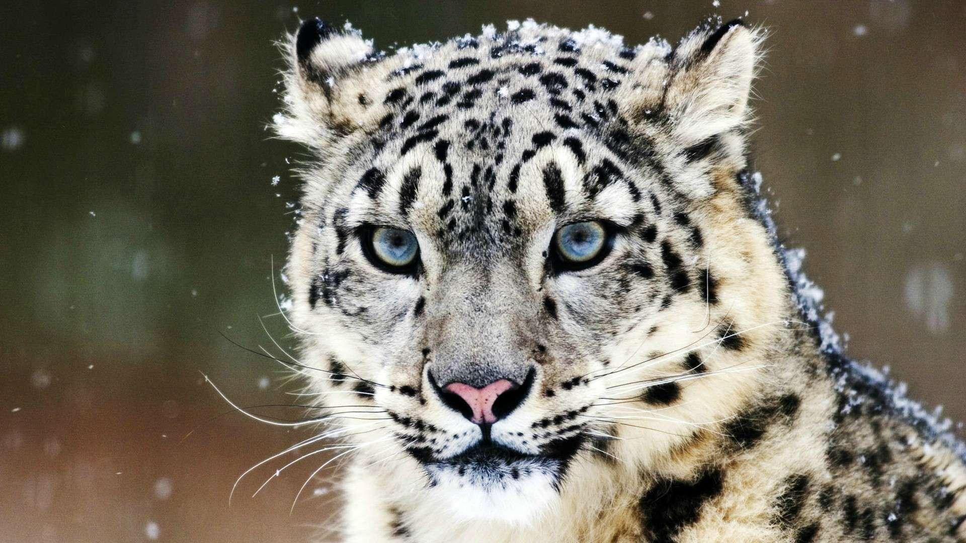 Snow Leopard HD Wallpaper FullHDWpp   Full HD Wallpapers 1920x1080 1920x1080