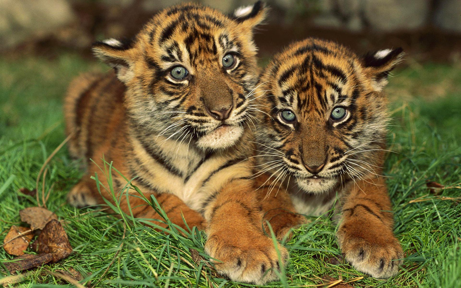 Wallpapers of Baby Tigers - WallpaperSafari