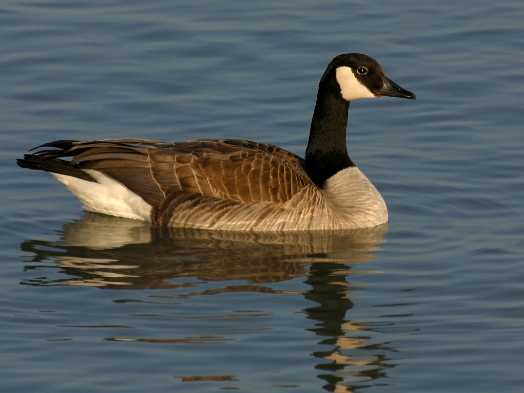 Canada goose 1024x768