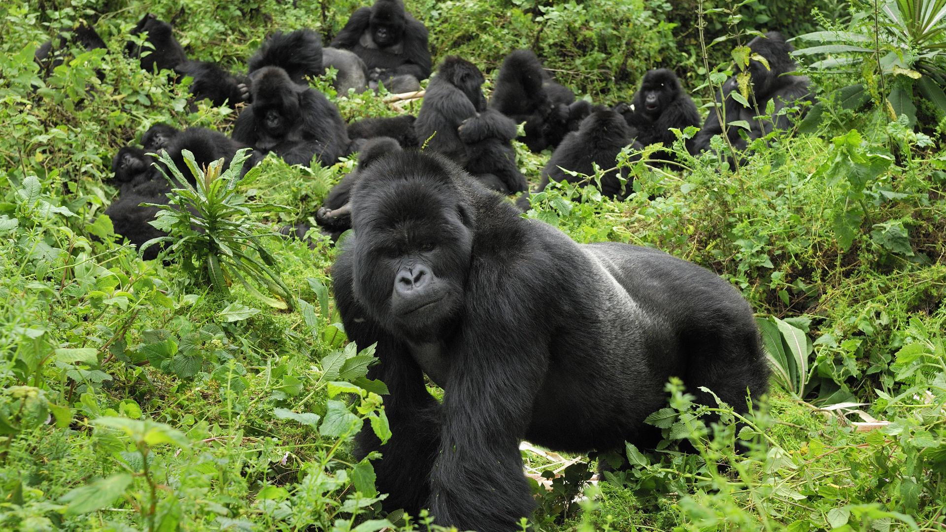 Wallpaper gorilla Rwanda Mountain Gorillas Volcanoes National Park 1920x1080