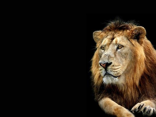 Animals Lion Wallpapers Hd Desktop And Mobile Backgrounds: Black Lion HD Wallpaper