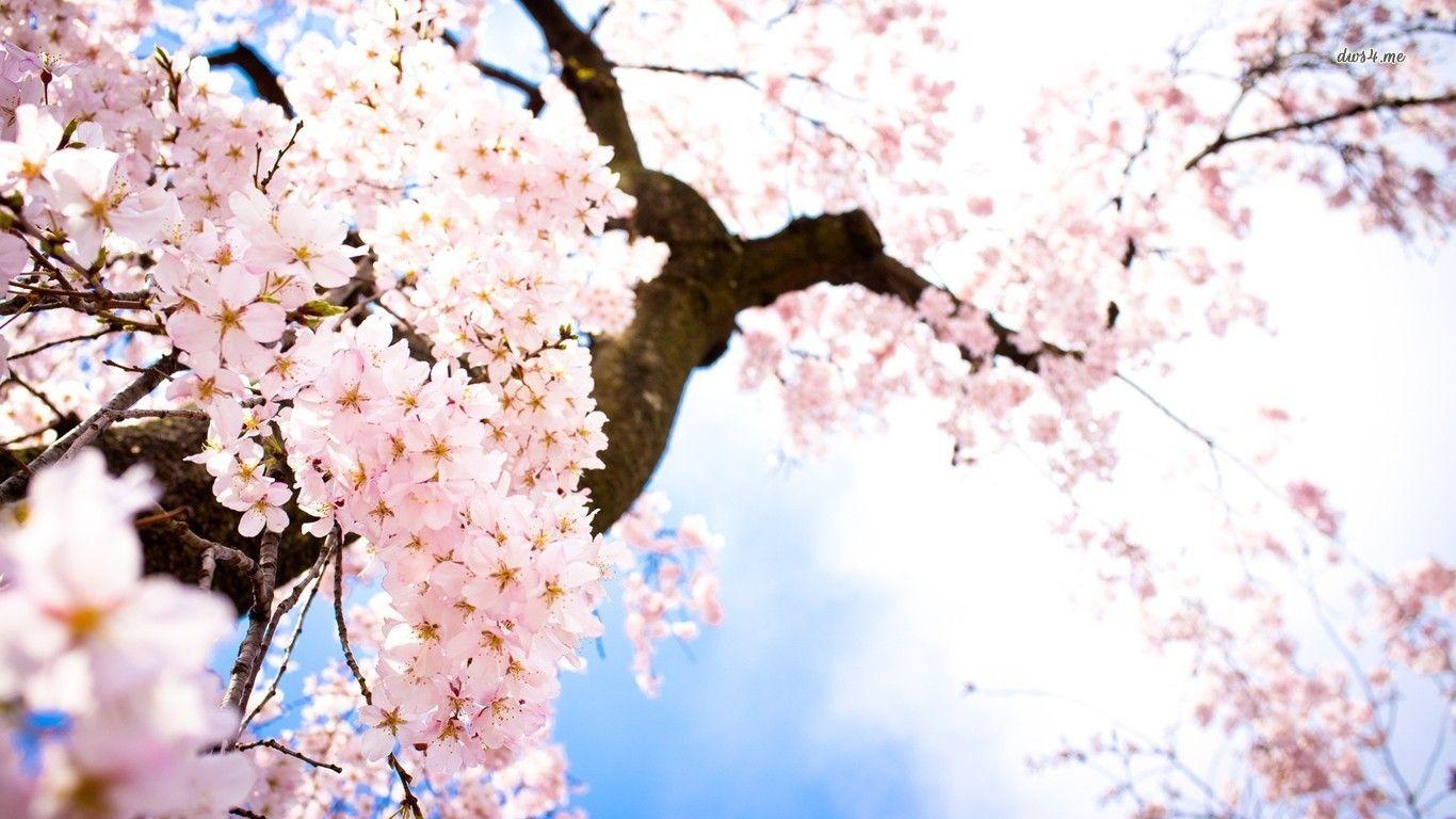 Cherry Blossom Desktop Wallpapers 1366x768