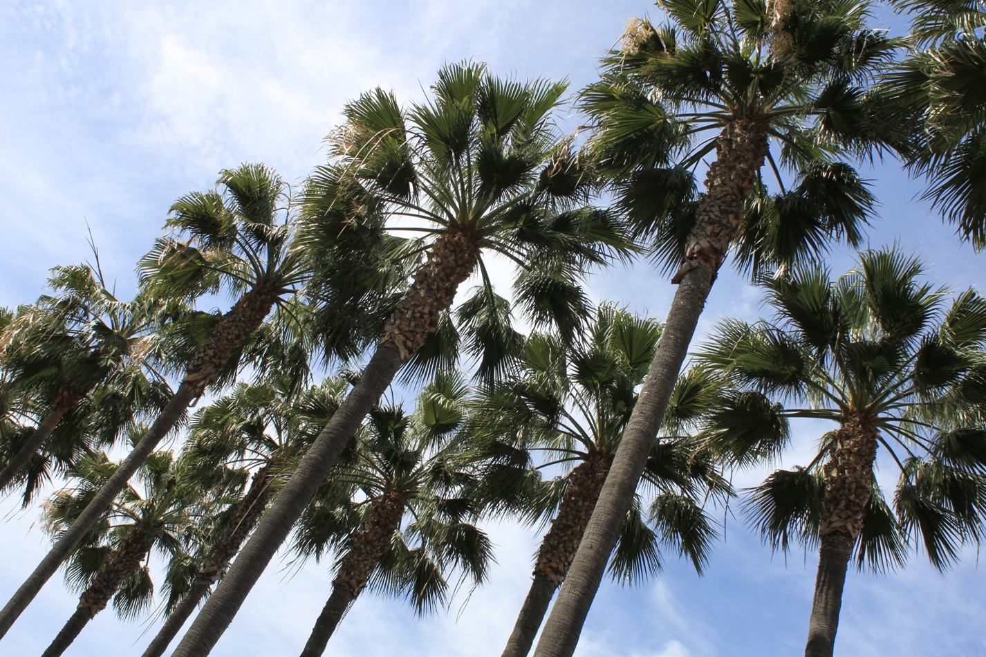 California Palm Trees Images crazygalleryinfo   Leechh Link Site 1426x950