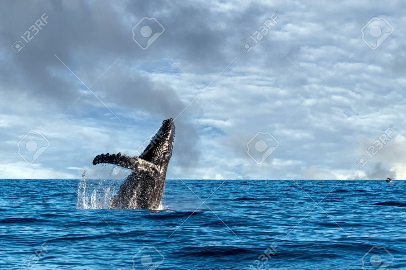 Humpback Whale Breaching On Pacific Ocean Background Stock Photo 1300x866