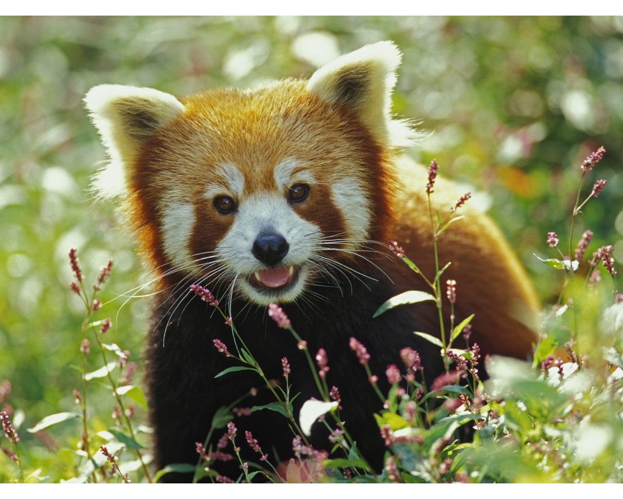 Cute Red Panda Wallpapers   1280x1024   429749 1280x1024
