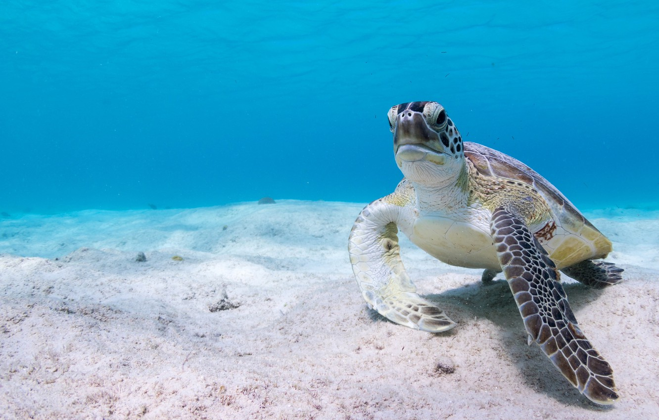 Wallpaper sea water background blue turtle the bottom 1332x850