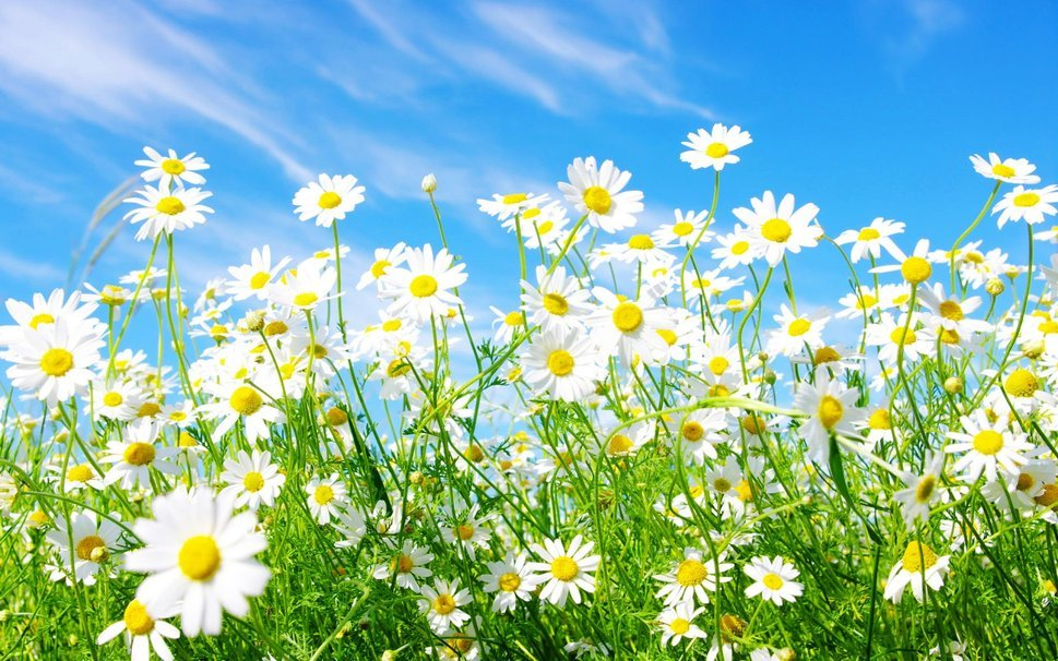 widescreen daisy media spring wallpaper   ForWallpapercom 969x606
