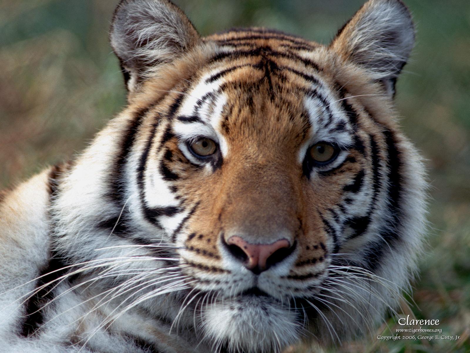 1600x1200px Free Tiger Wallpapers For Desktop Wallpapersafari