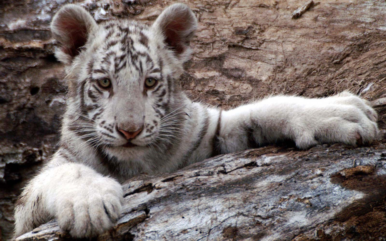White Baby Tiger Baby white tigers wallpapers 1600x1000