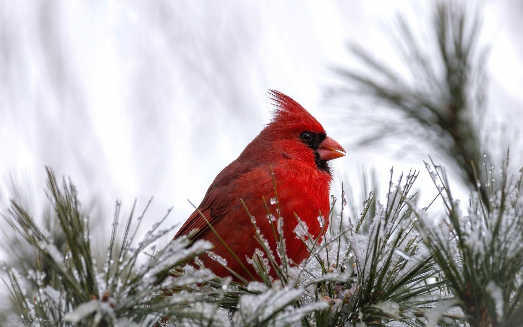 Cardinal Bird Wallpapers 1680x1050