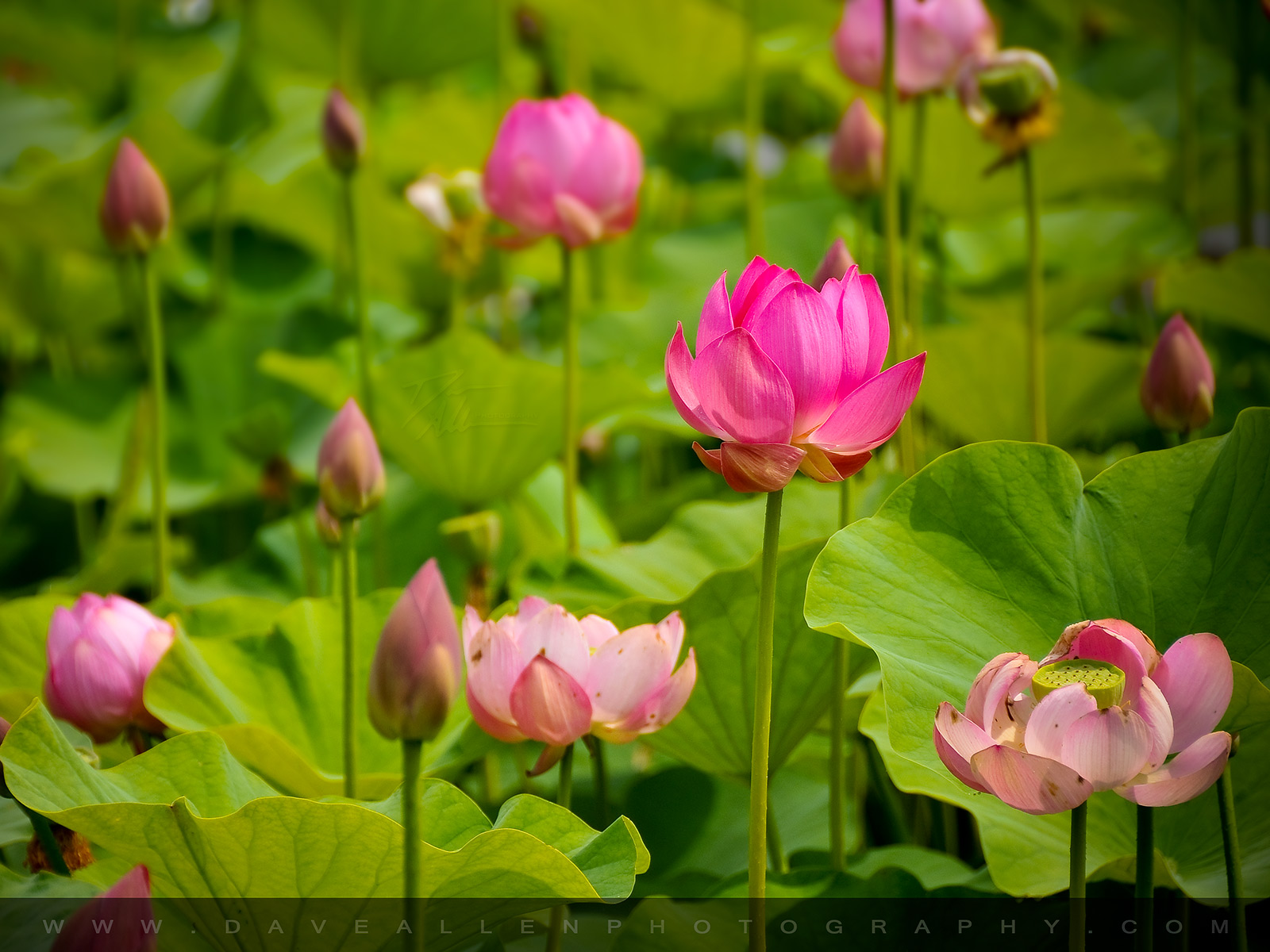 Download Beautiful Collection Of 28 Lotus Flower Desktop Wallpapers