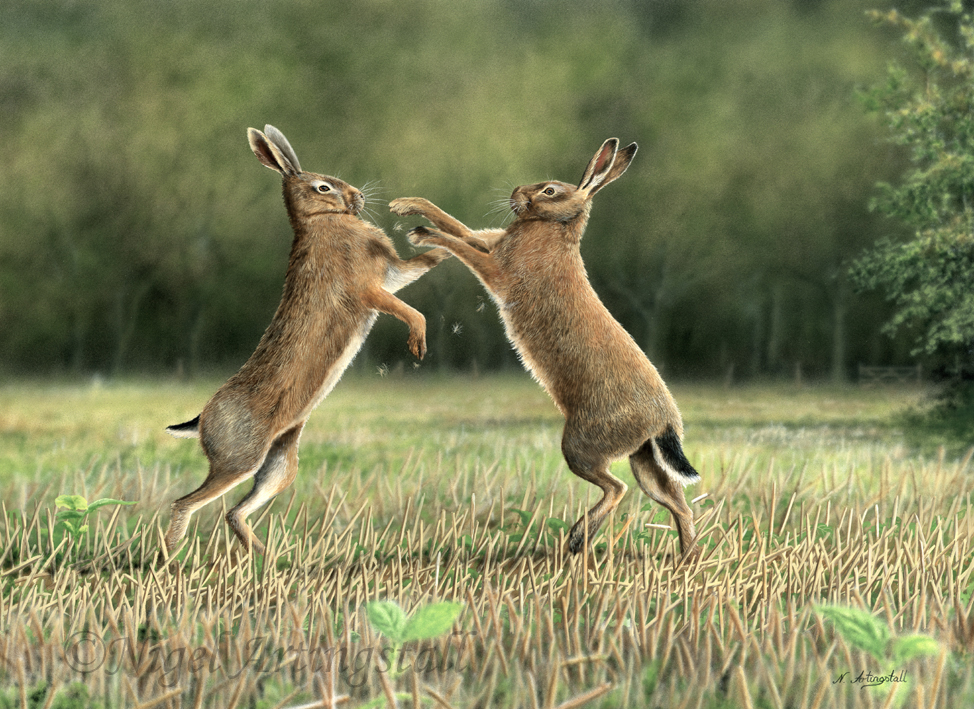 Free download Boxing Hares HD Walls Find Wallpapers [974x709] for your  Desktop, Mobile & Tablet | Explore 39+ Boxing Hare Wallpaper | Boxing Hare  Wallpaper, Hare Wallpaper, Boxing Wallpapers HD