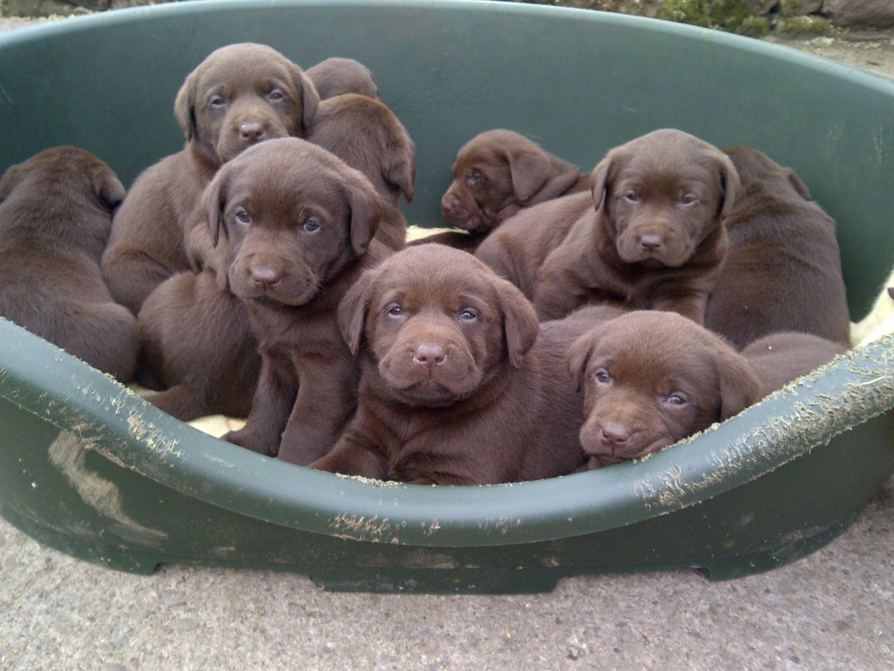 Chocolate Lab Puppies Price - Pumpkin Chocolate Chip Cookies