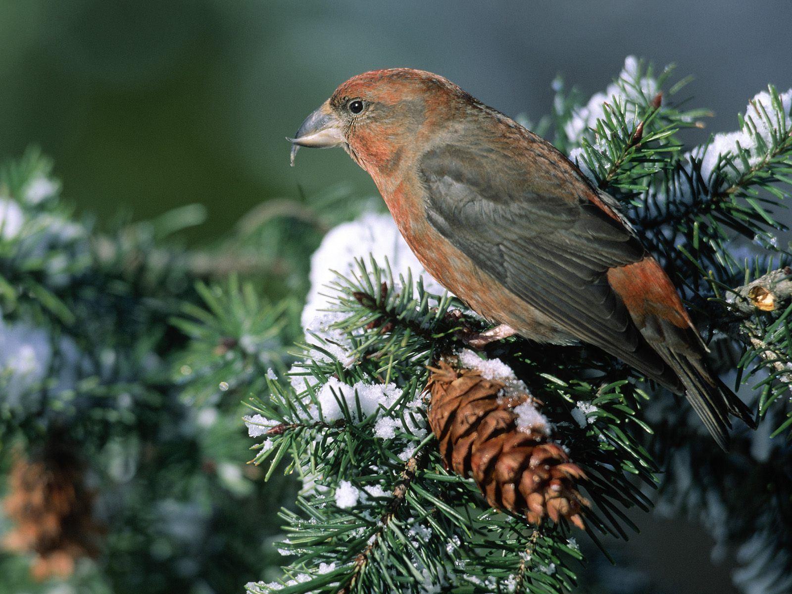Beautiful Birds Pine Tree Snow Bird Wallpaper Full HD Wallpapers 1600x1200