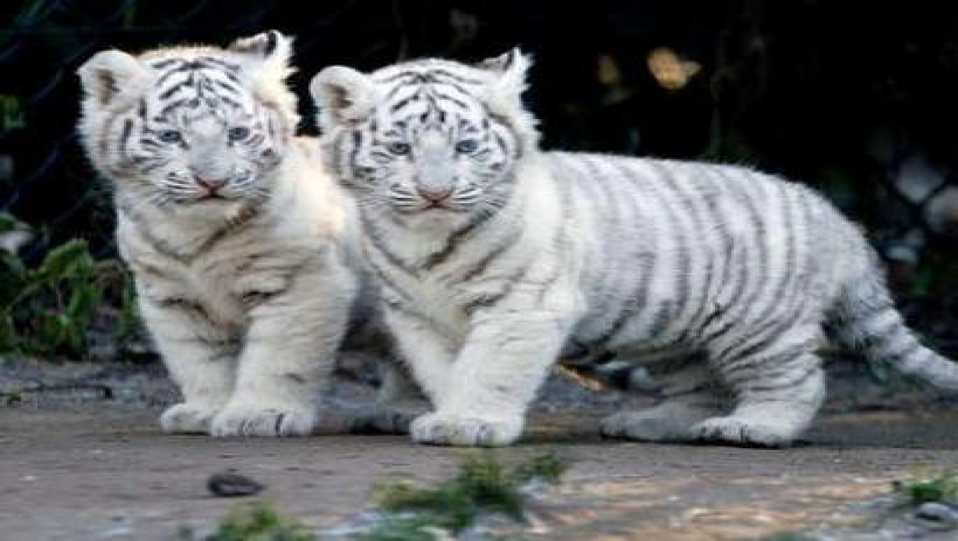 White Tiger Cub Wallpapers 1360x768