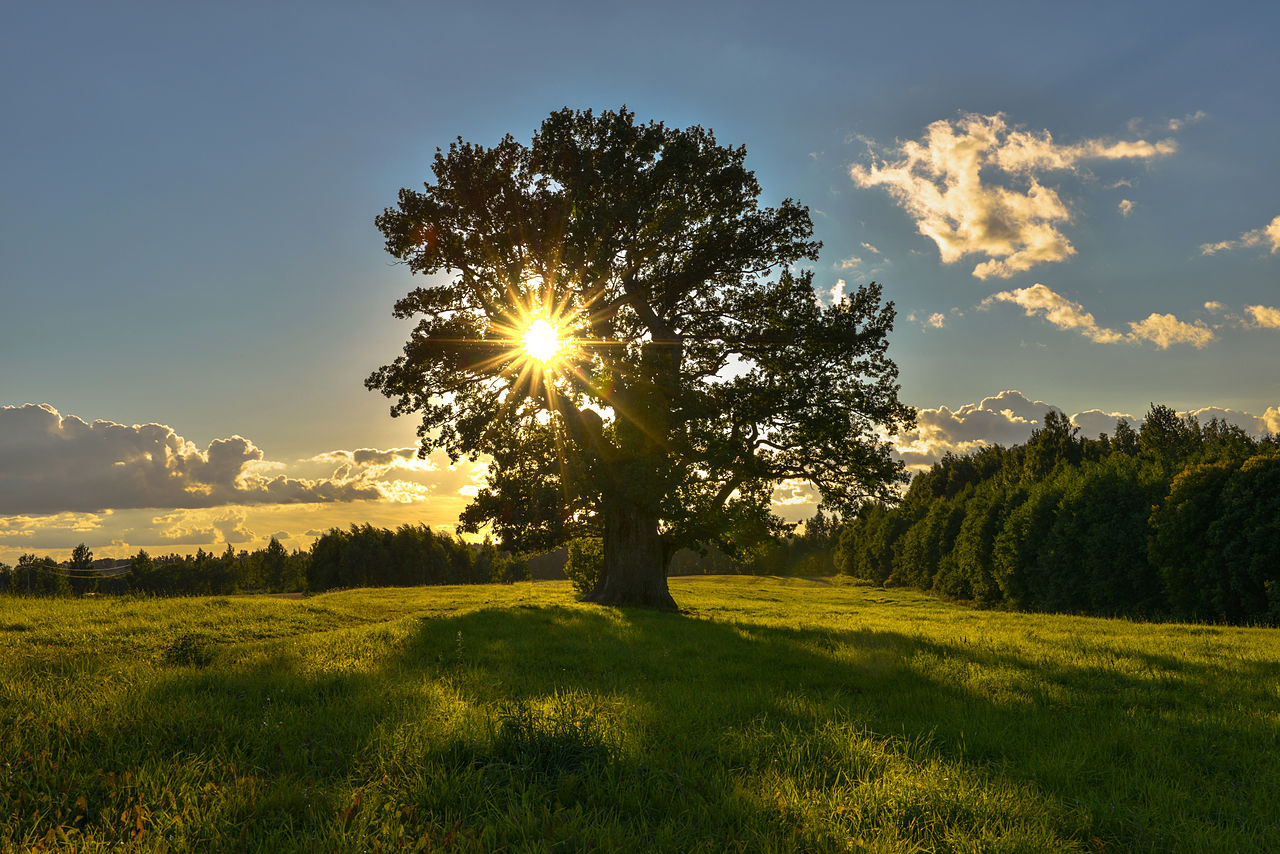 Tamme Lauri oak The oldest tree in Estonia Tamme Lauri oak is 1280x854