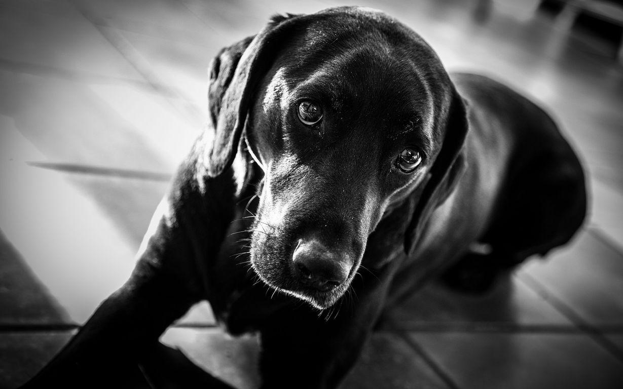 Black Labrador Desktop Wallpaper 1229x768