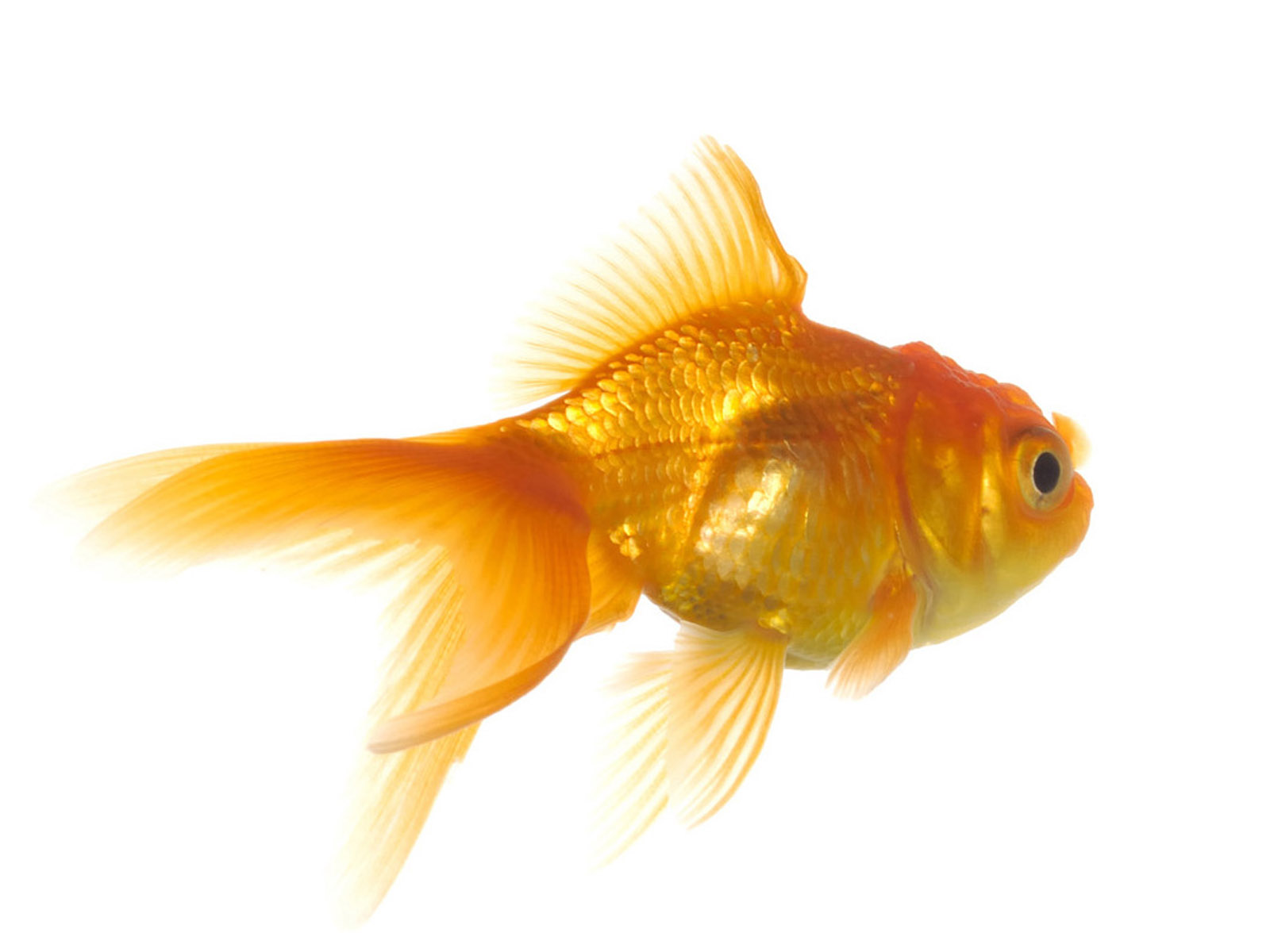 Goldfish Wallpapers   2013 Wallpapers 1600x1200